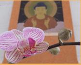 amida orchid